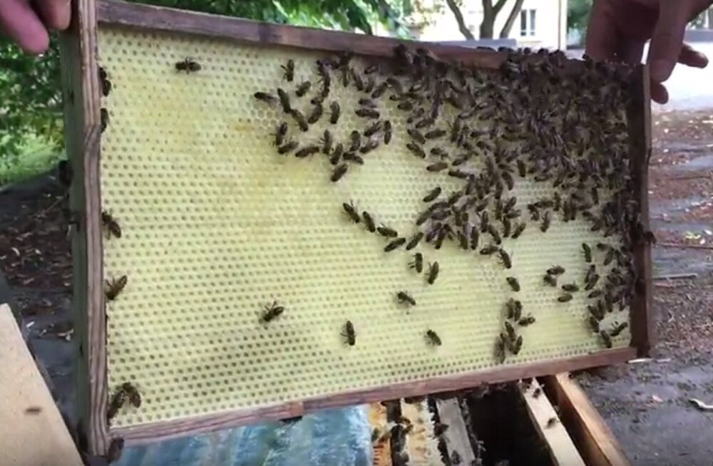 VIDEO | Kas linnamesilaste mesi on heitgaasidest saastatud või söödav?