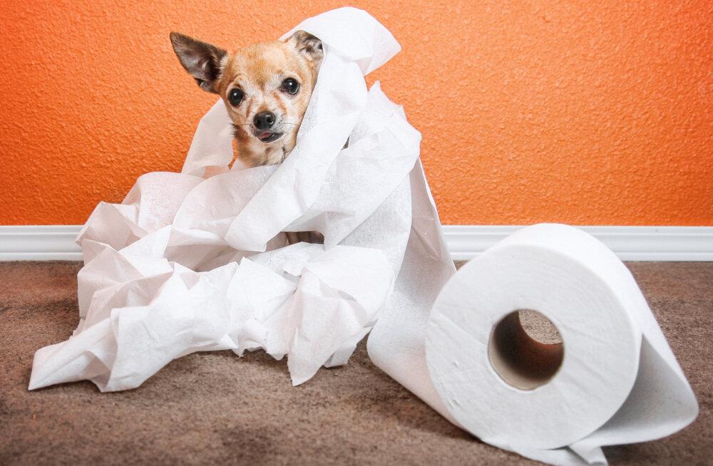 Koristamise ABC: Kuidas eemaldada erinevatelt pindadelt lemmiklooma pissiplekke ja uriini lõhna?