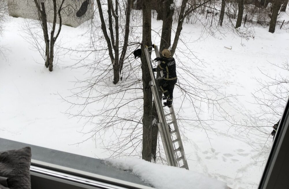 ФОТО читателя Delfi: Спасатели помогли отчаявшемуся коту спуститься с дерева