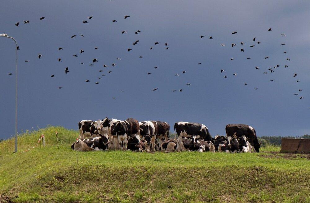 Lehmad, lehm, mullikad
