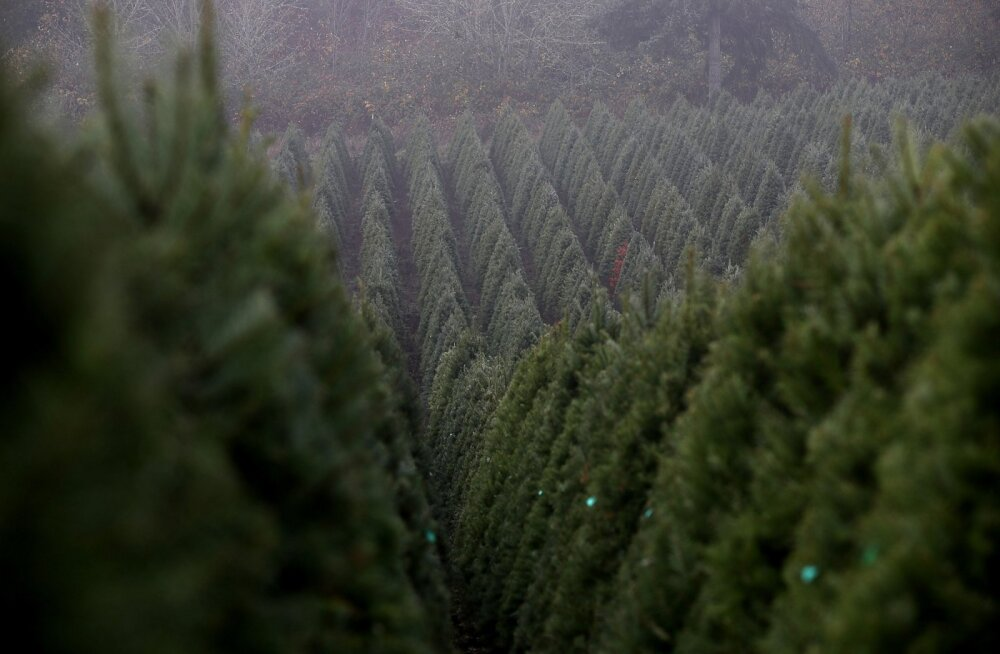 Maailma suurim jõulukuuskede eksportöör teenib sellega 175 miljonit eurot aastas