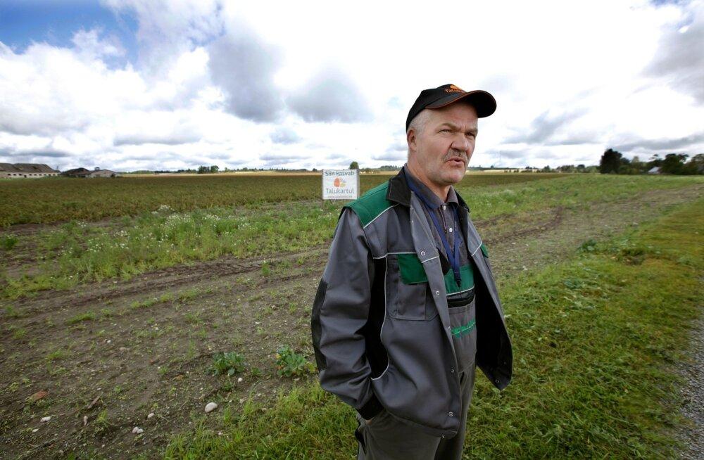 """""""Kus vihma tuli, kasvab kartul mühinal, aga osal põldudel valitseb kuivus,"""" selgitab TÜ Talukartul juhatuse esimees Gustav Põldmaa. Tegelik kartulisaak selgub alles oktoobrikuus."""
