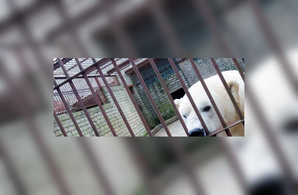 Loomaaias puurist põgenenud jääkaru suri