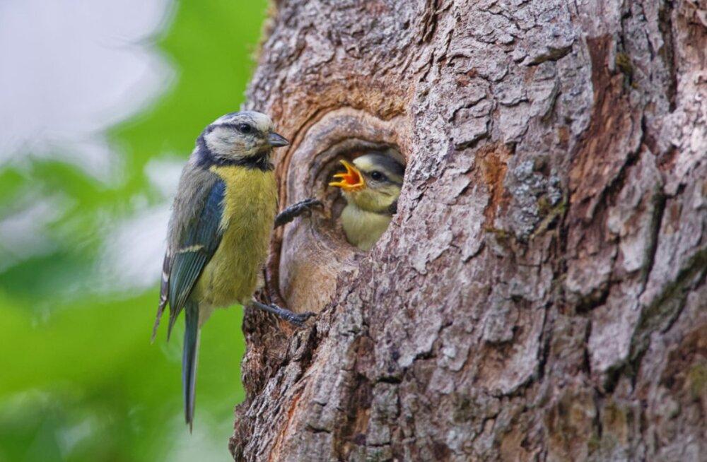 Põhjamaiste lindude pesitsusaja algus nihkub üha varasemaks