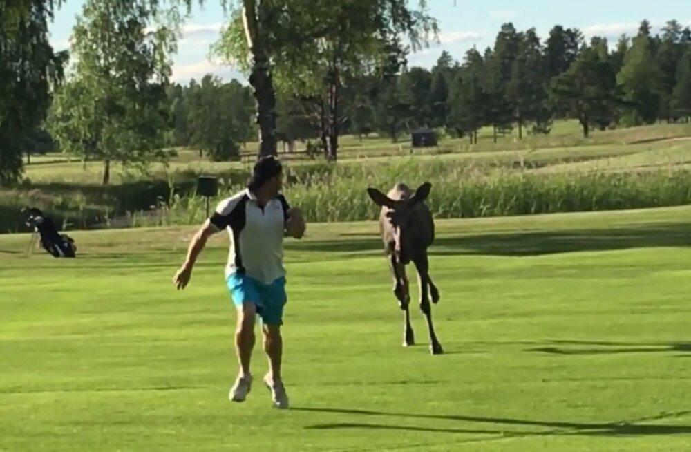 Põder golfirajal