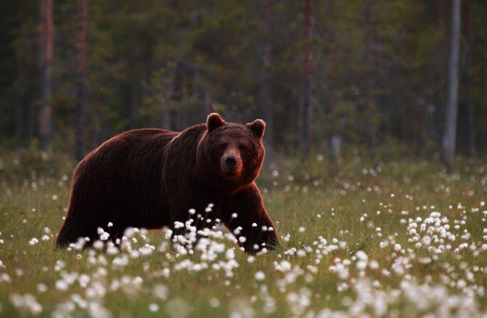 Karu villpeameres