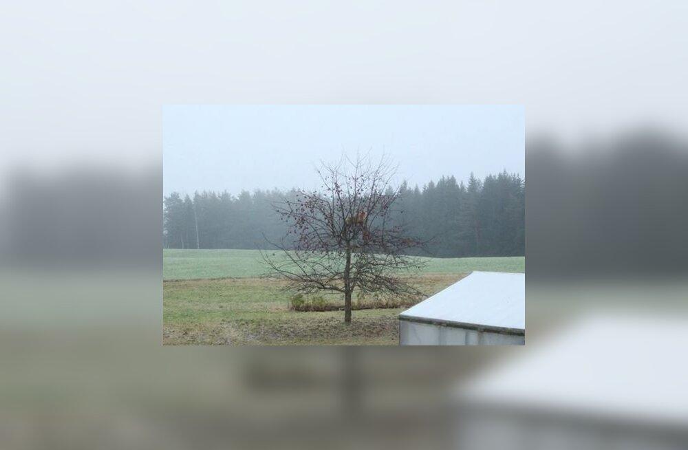 ФОТО: Лисица забралась на дерево, чтобы полакомиться яблоками