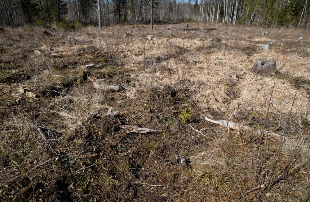 Soome Metsakeskus tuletab meelde, et metsakultuuride hooldus annab metsaomanikule umbes kolmandiku suuremat netotulu. Üheaastane hilinemine kultuuri hooldamisel suurendab kulutusi sellele tööle 10% võrra. Kõik see kehtib ka Eesti kohta.