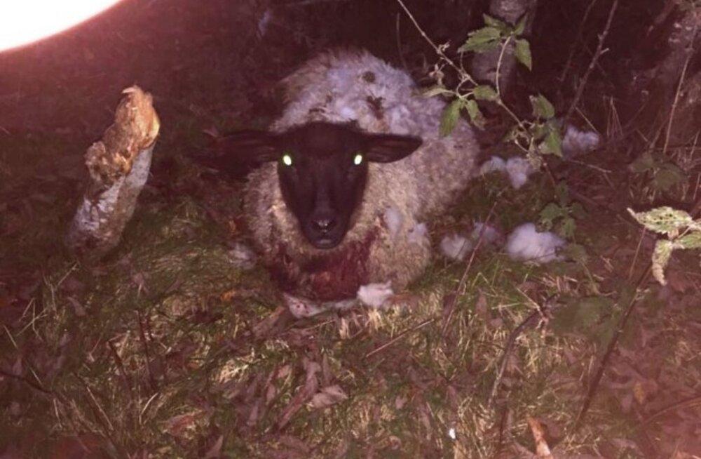 Sel sügisel on maha lastud viis kariloomi ründavat koera