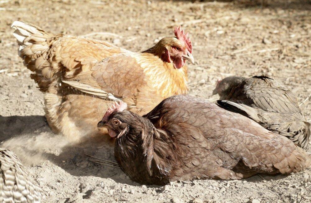 Kanadele meeldib tuha-liivasegus vihelda.