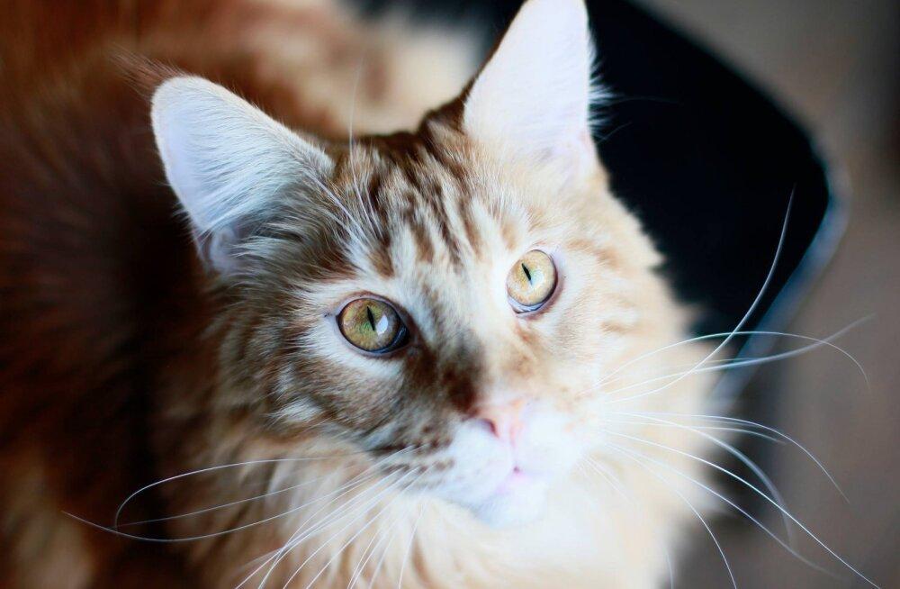 """Iseateadlik Liza – kass, kes elab ja """"töötab"""" pirukakohvikus"""