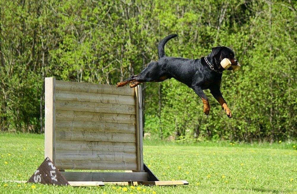 Rottweiler Real Diamond Rottwelite One kuulekuskoolituse võistlusel, kus on vaja ese tuua üle tõkke.