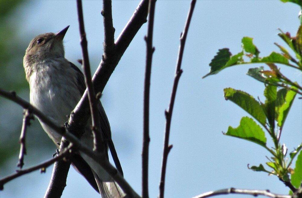 Leili metsalood | Linnulaulukevad on täies hoos