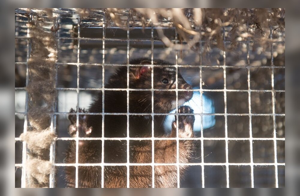 Eksperdid: Karusloomafarmide debatti tuleb lisada eetiline mõõde