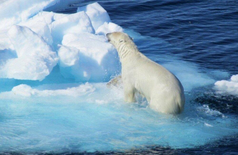 Jääkarud on nälja peletamiseks hüljeste asemel delfiine sööma hakanud