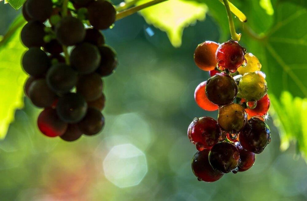 Eesti viinamarjad nagu Itaalias