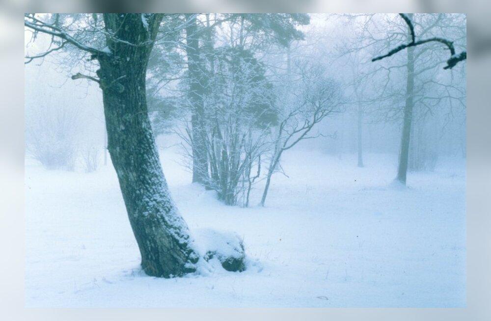 Laelatu puisniit katab oma 2000. jõululaua