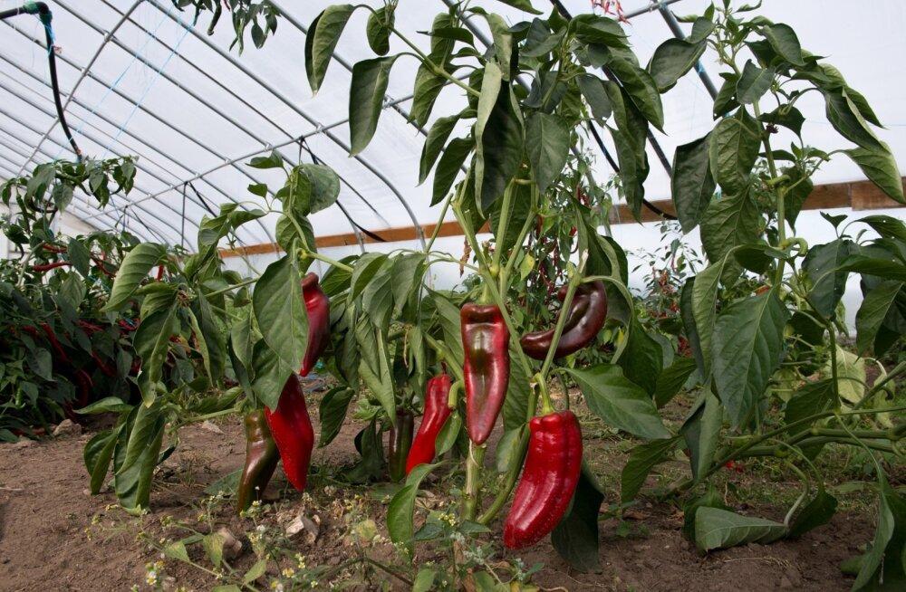Paprikaid ei pea tingimata kallis kasvuhoones kasvatama.