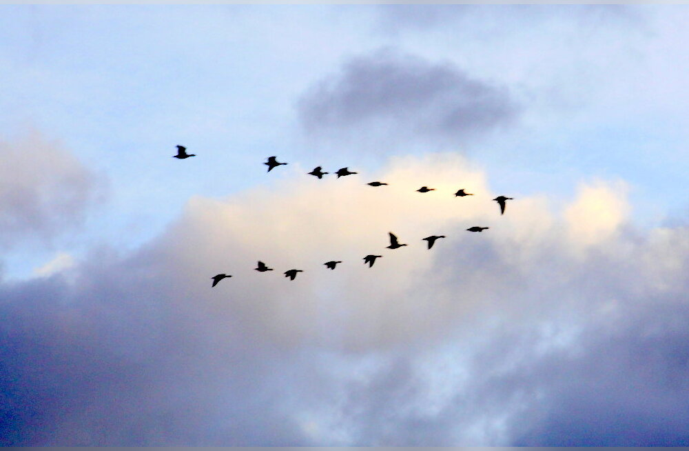 ФОТО: В Ида-Вирумаа прилетели гуси. Значит, зима отступает