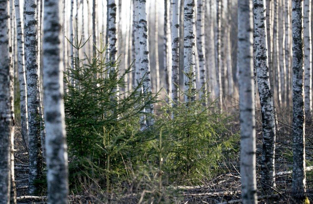 Kes ei taha puid tuppa tuua, võib neid ka metsas vaatamas käia.