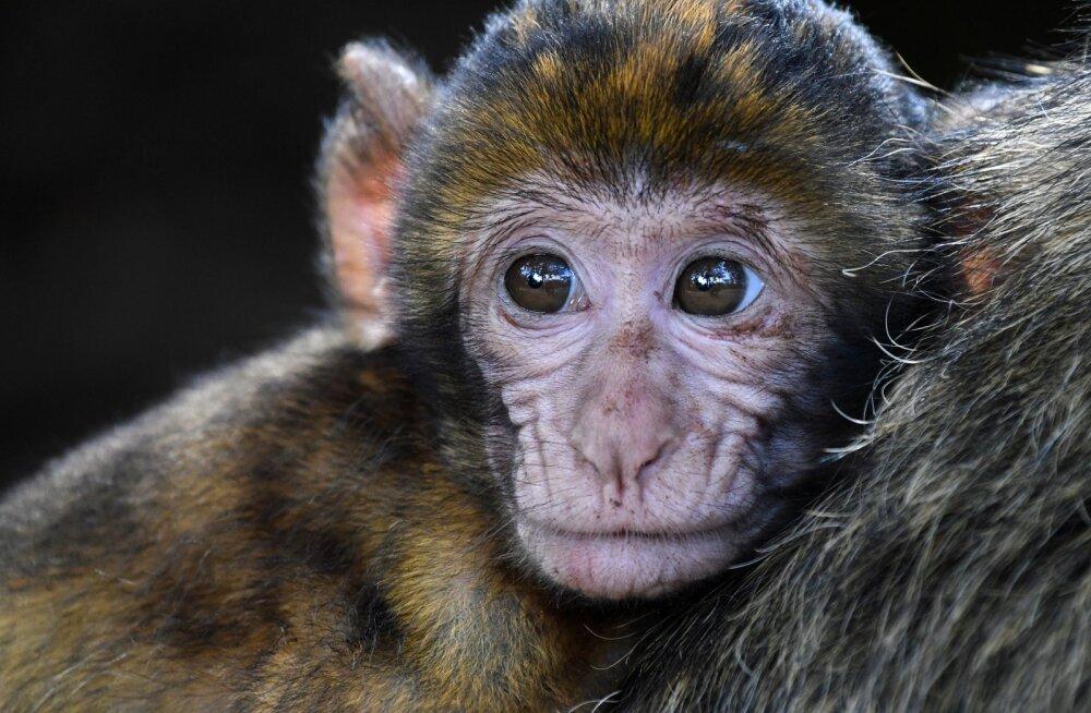 Jahmatav ja ebatavaline vaatepilt: ahviema reaktsioon oma surnud järglase üle näitas teadlaste sõnul tohutut kiindumust
