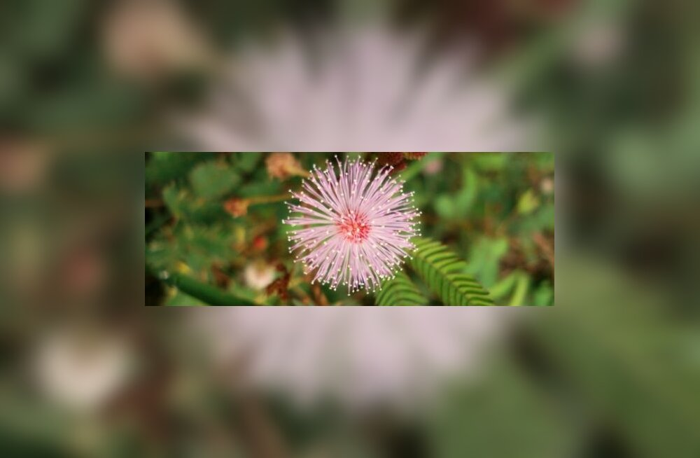 800px-Mimosapudica