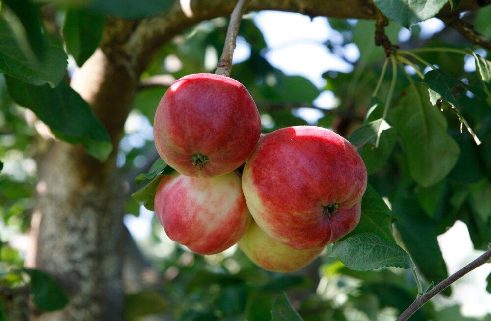 Kas teadsid, et õunad võivad teatud juhtudel tervisele ohtlikud olla?