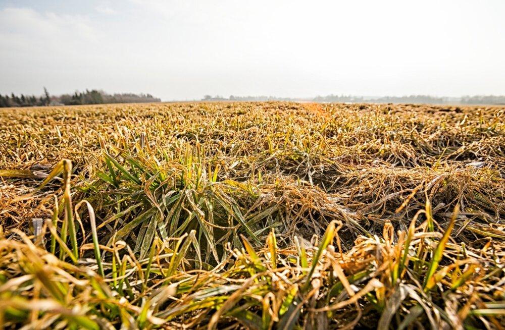 Taliviljad elasid heitliku talve kenasti üle