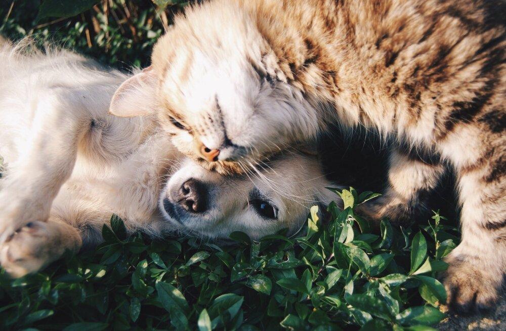 Purustame müüdid: Kas koer ikka võib peremehe õhtusöögi ülejääke süüa? 6 levinud müüti lemmiklooma toitmise kohta