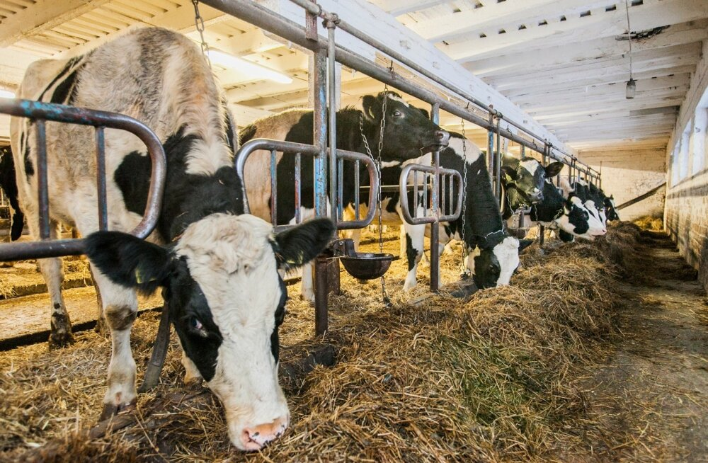 Kui siiani tuli tõuloomakasvatajate ühistul müüki minevate mullikate jaoks lautu rentida, siis lähiajal saavad nad hakata loomi koguma Kehrasse rajatud keskuses.