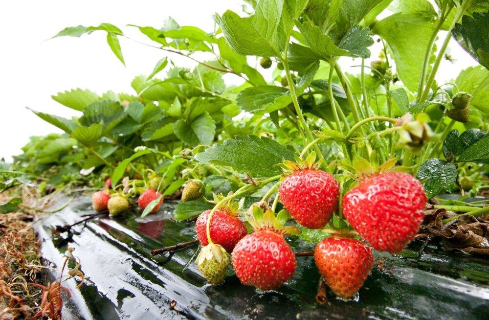 Maasikad peavad küpsemiseks ilmaga võitlust pidama