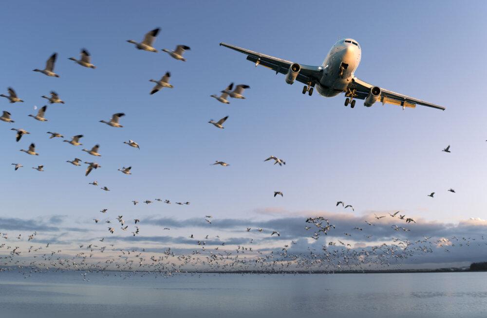 Tõsine oht või puhas kuulujutt? Mis juhtub siis, kui lind õhus lennukiga kokku põrkab?