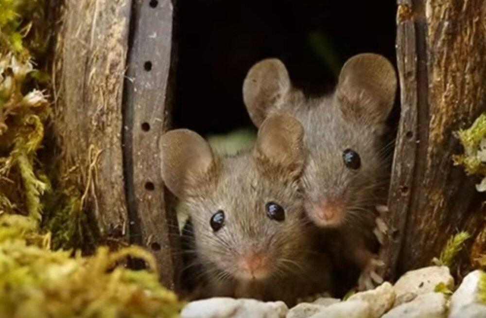Südamlikud FOTOD | Fotograaf avastas aiast hiirepere, kinni püüdmise asemel ehitas ta neile imearmsa küla