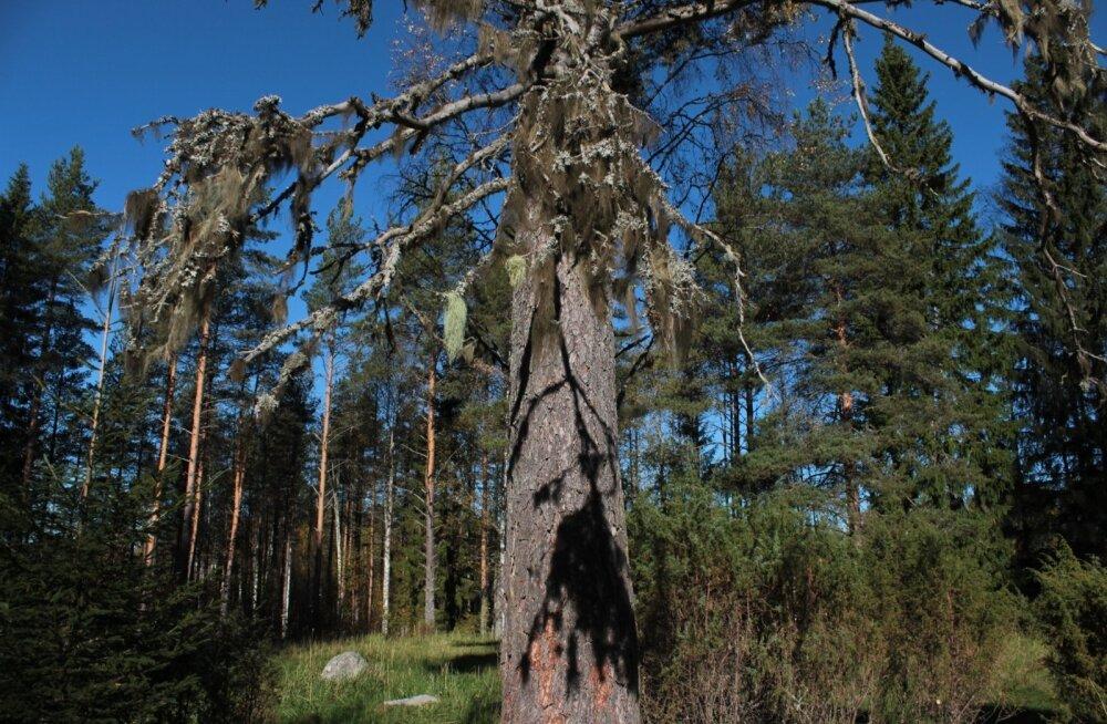 Soome iseseisvuse juubeliaasta looduskingituse kampaania on toonud olemasolevatele juurde juba ligemale 3000 ha uusi looduskaitsealasid.