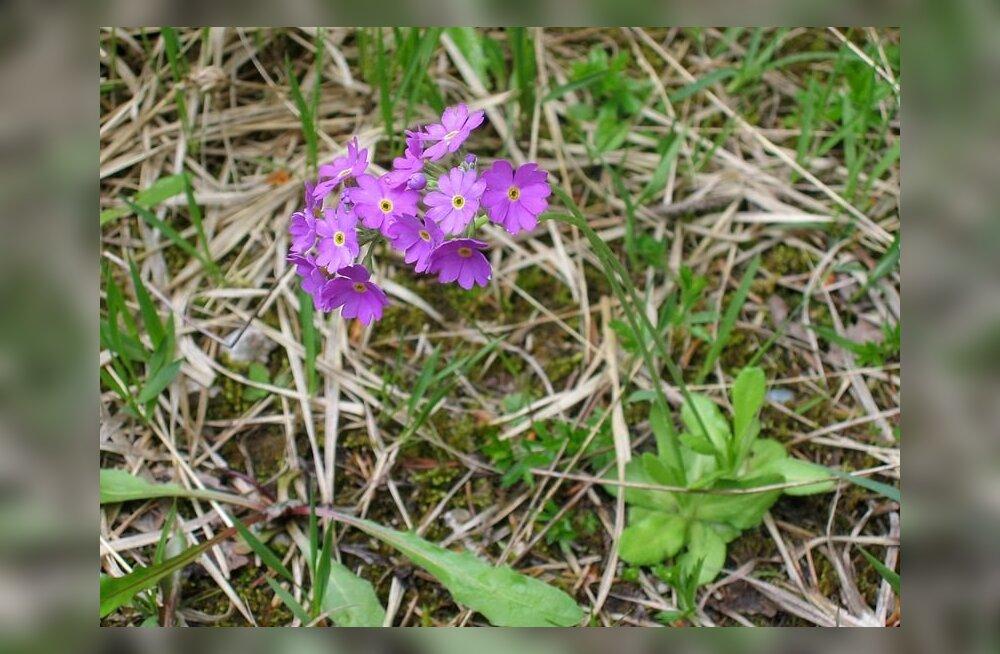 Jaanilille nime kannavad paljud lilled – üks ilusam kui teine