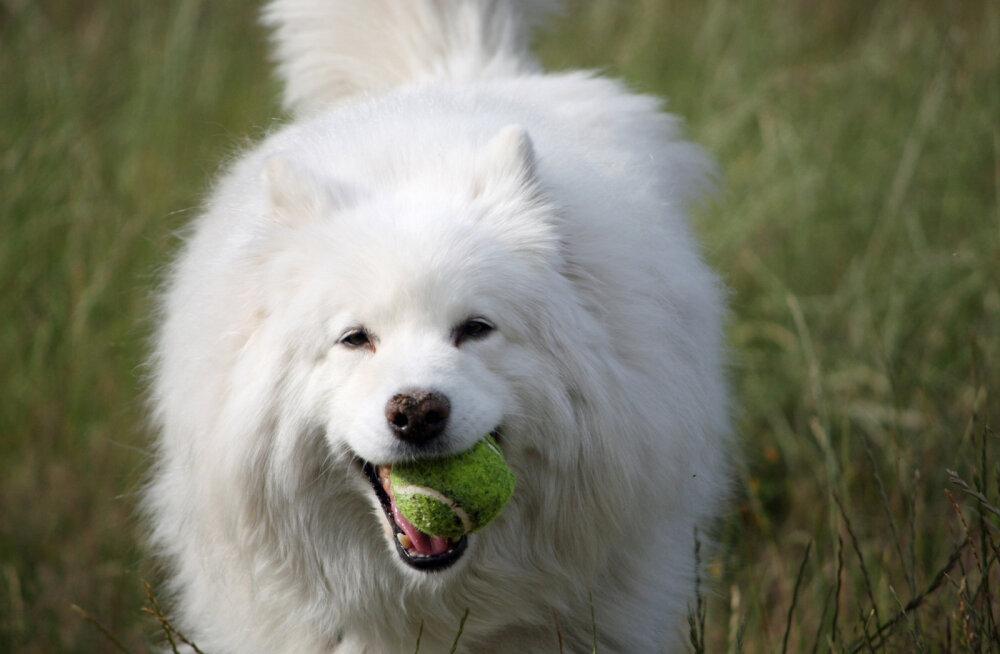 Sõbrad, kes ei aja aevastama: 10 allergikutele sobivat koeratõugu