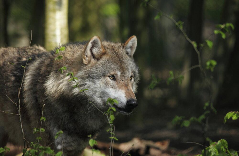 Eesti rahvusloomaks kuulutati hunt - metsiku ja puutumatu looduse sümbol