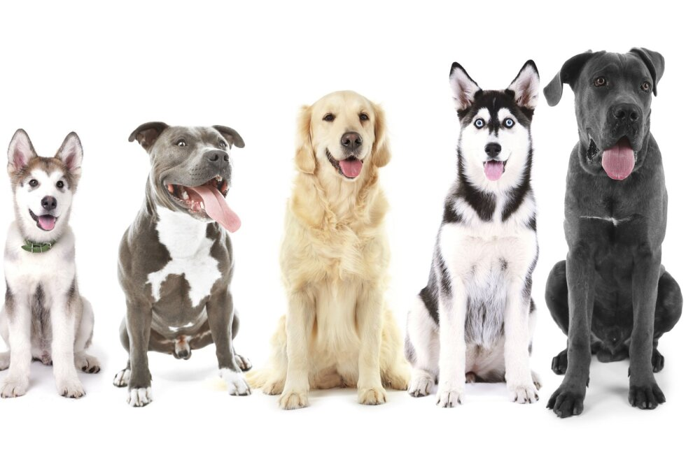 """TOP 10: Koerte psühholoog paneb ritta kõige """"targemad"""" koeratõud"""