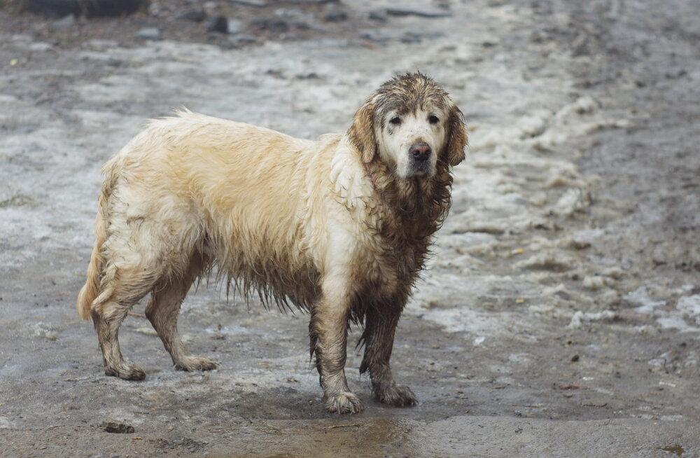 HOOLIMATUSE TIPP | Saaremaal pidi koer läbivettinuna ning püstijalu õues magama