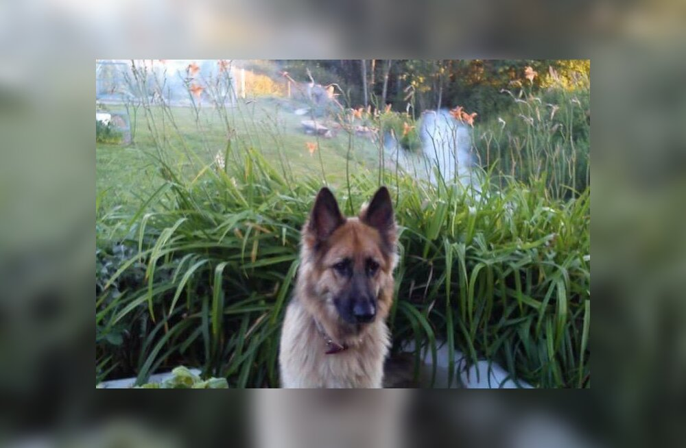 PALUME ABI   Pulli külas otsitakse kadunud koera Itit