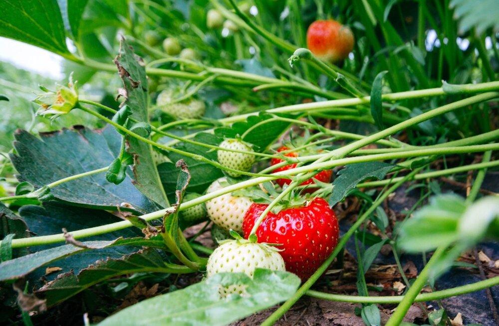 Maasikakahjurite vastu aitab Karate Zeon.