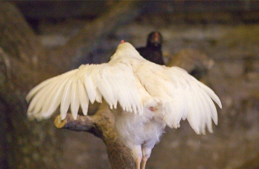 Kui linnud lendavad madalalt, võib tegu olla kanadega