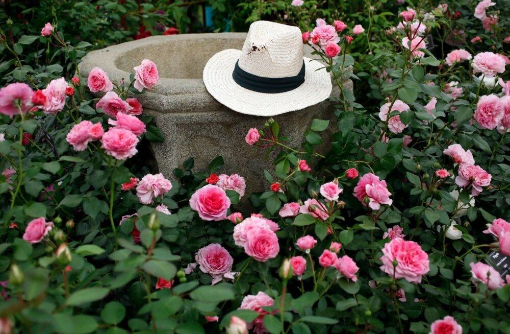 kübar roosipõõsas