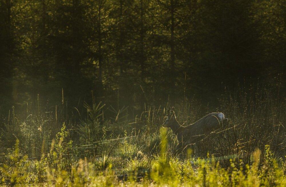 """Победителем """"Бескровной охоты"""" признан Ярек Йыэпера со снимком косули"""