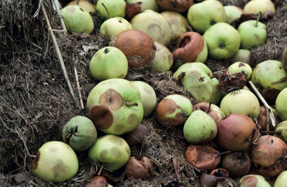 Kuidas teha komposti õuntest ja lehtedest?