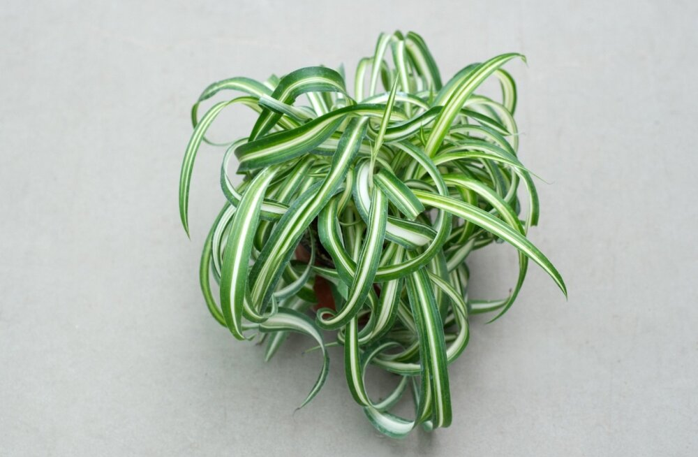 Tups-rohtliilia/Chlorophytum comosum