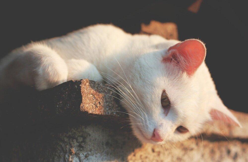 10 fakti: mida huvitavat võiks teada kassi kõrvade kohta?