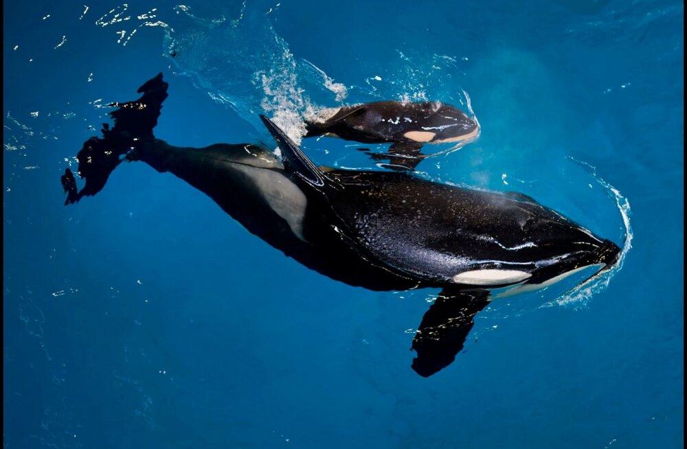 """Maailma esimene rääkiv mõõkvaal, Prantsusmaal akvaariumis elav Wikie oskab muuhulgas öelda """"hello"""" ja """"bye-bye"""""""