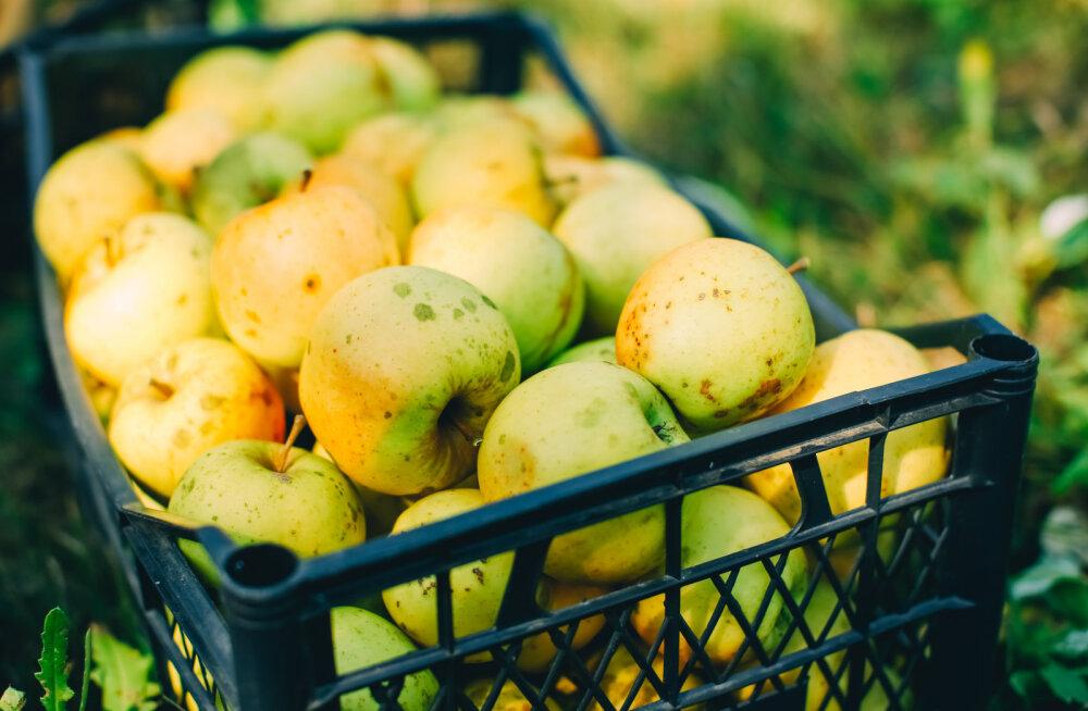 Kuldreegel! Säilitamiseks mõeldud õunad nopi puult ükshaaval