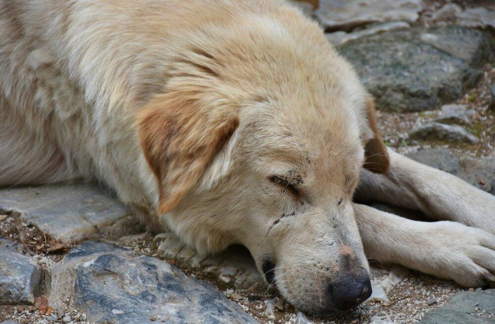 """Venemaal tapetakse tänavate """"puhastamise"""" eesmärgil tuhandeid kodutuid loomi"""